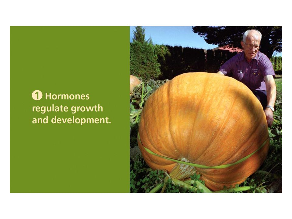 Chapter 19-1 Opener Plant hormones regulate the growth of this enormous pumpkin.