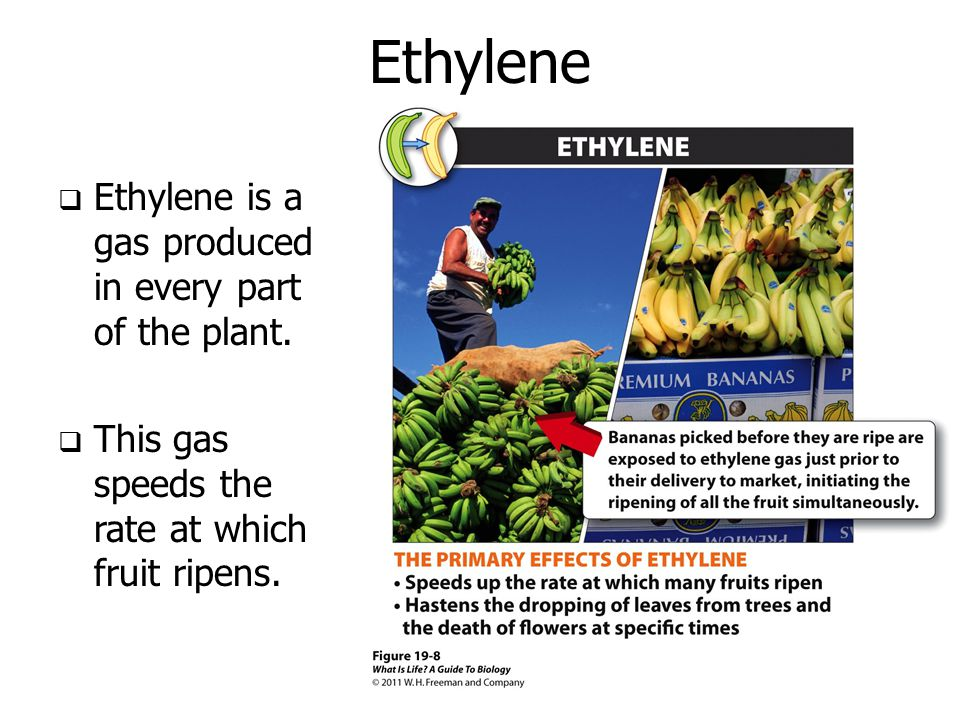 Ethylene Ethylene is a gas produced in every part of the plant.