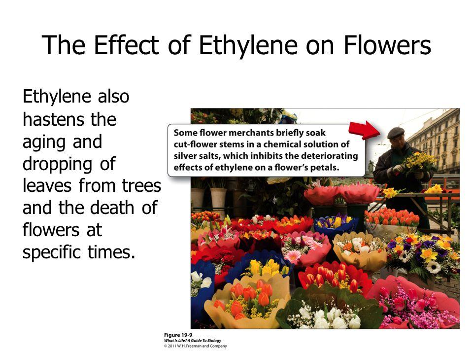 The Effect of Ethylene on Flowers