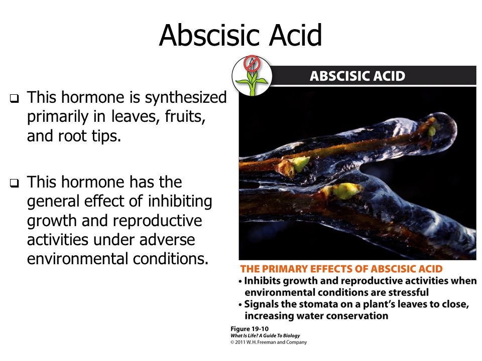 Abscisic Acid This hormone is synthesized primarily in leaves, fruits, and root tips.