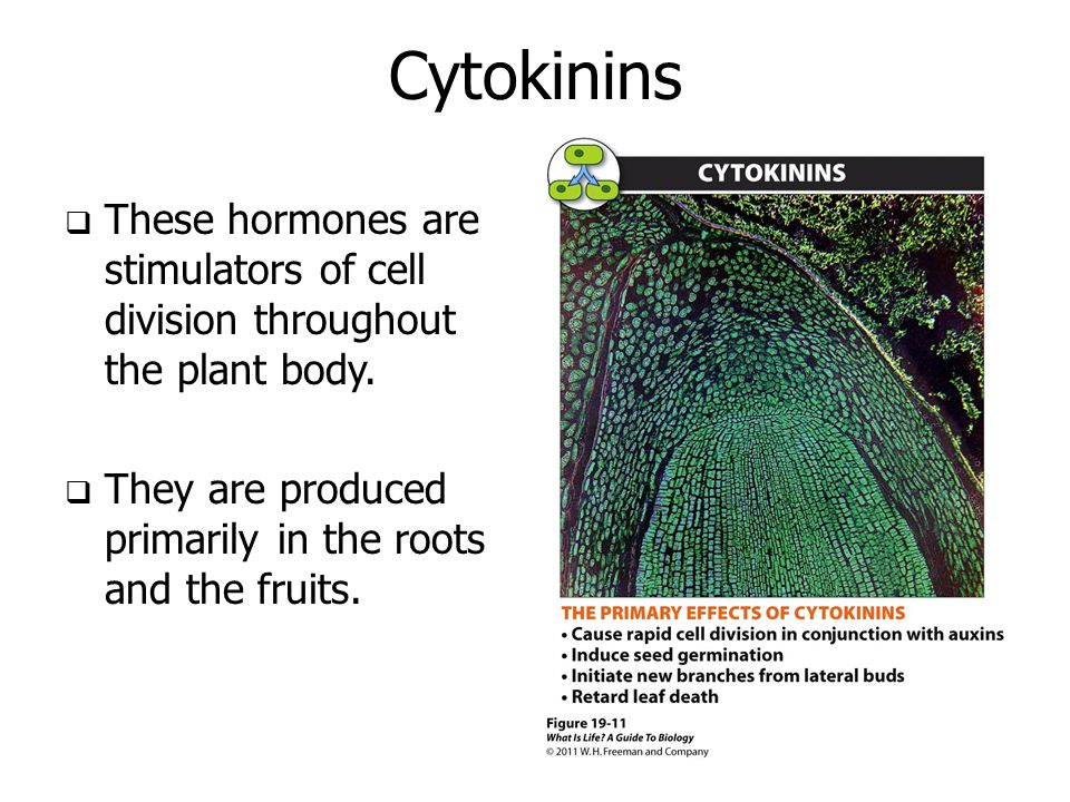 Cytokinins These hormones are stimulators of cell division throughout the plant body. They are produced primarily in the roots and the fruits.