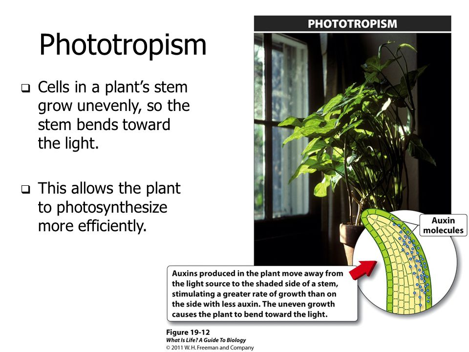 Phototropism Cells in a plant's stem grow unevenly, so the stem bends toward the light. This allows the plant to photosynthesize more efficiently.
