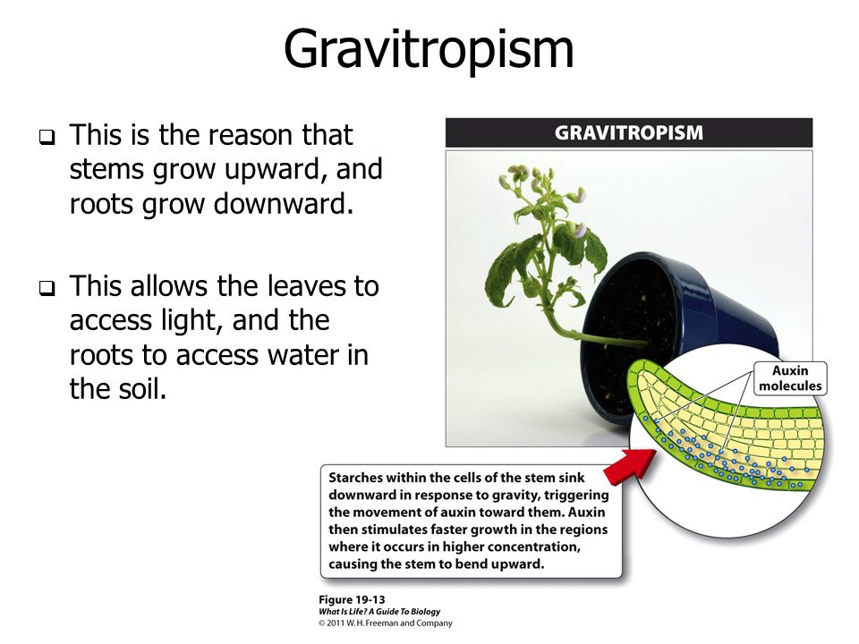 Gravitropism This is the reason that stems grow upward, and roots grow downward.