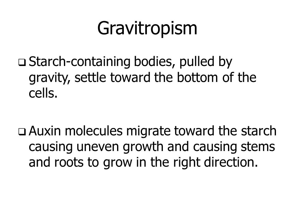 Gravitropism Starch-containing bodies, pulled by gravity, settle toward the bottom of the cells.