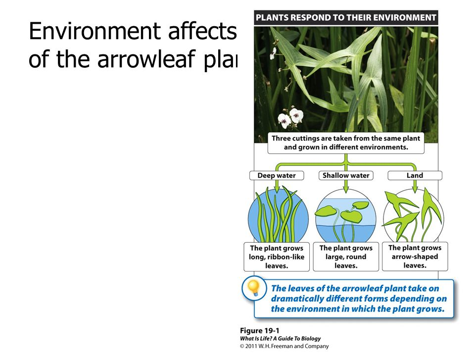 Environment affects the growth pattern of the arrowleaf plant.