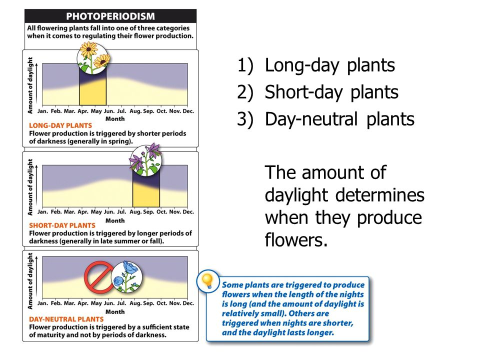 The amount of daylight determines when they produce flowers.