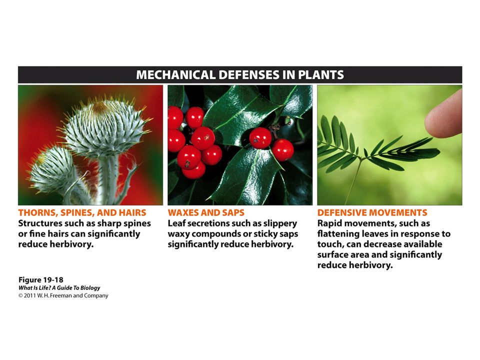 Figure 19-18 Plants have physical defenses to ward off predation by insects and other animals.