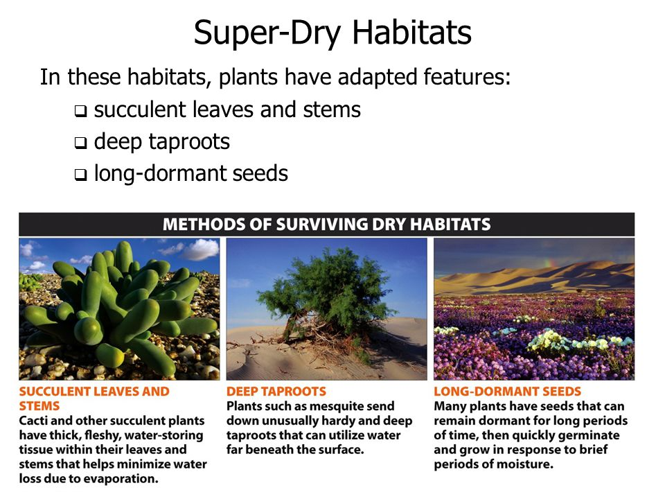 Super-Dry Habitats In these habitats, plants have adapted features: