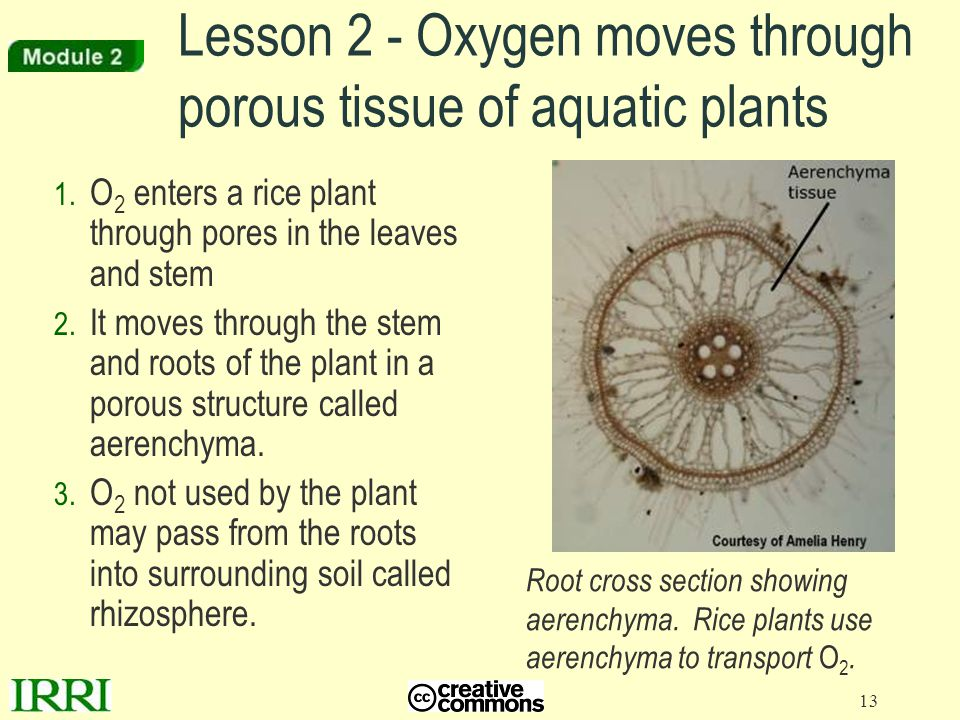 Lesson 2 - Oxygen moves through porous tissue of aquatic plants
