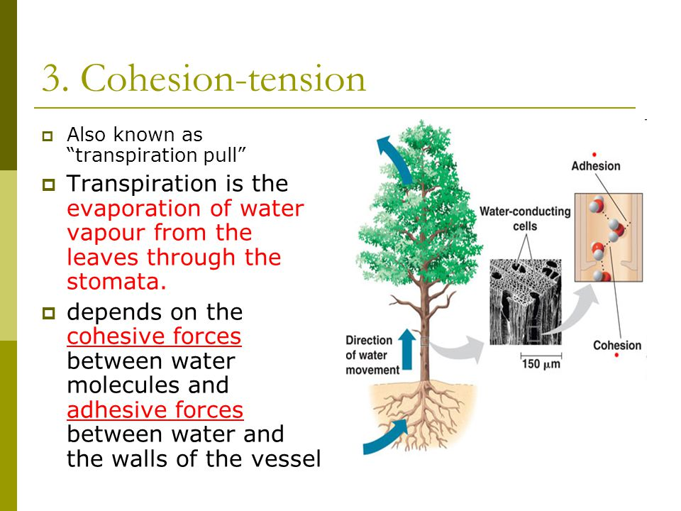 3. Cohesion-tension Also known as transpiration pull Transpiration is the evaporation of water vapour from the leaves through the stomata.