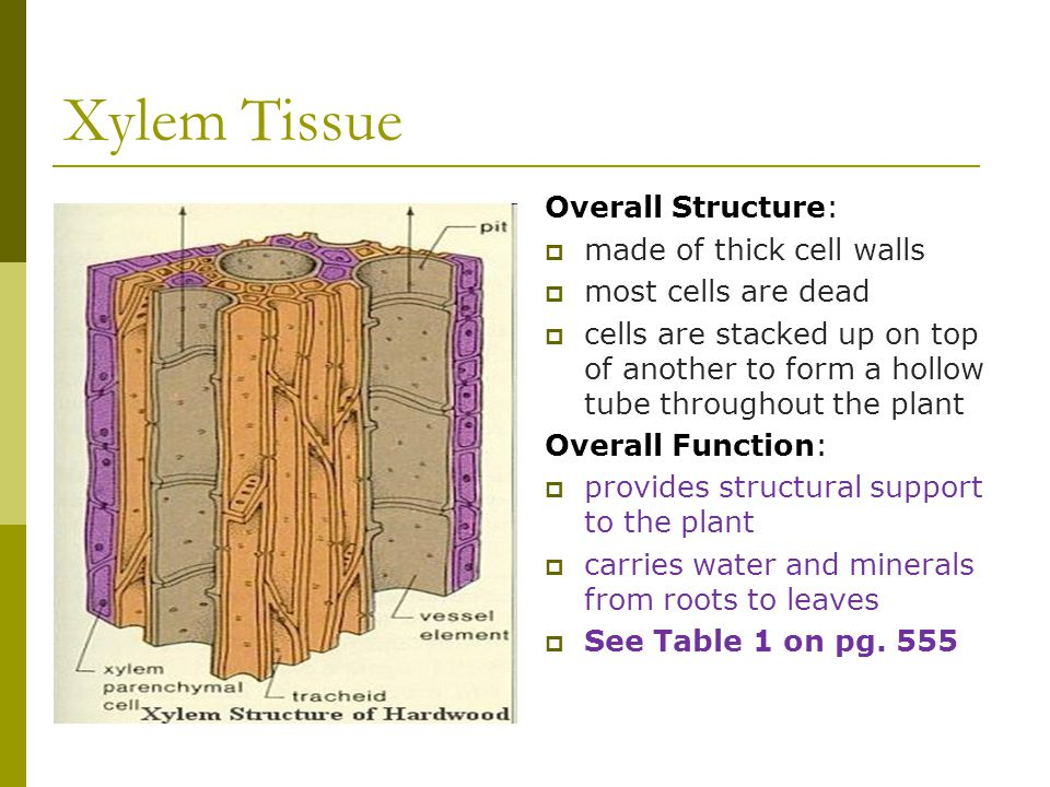 Xylem Tissue Overall Structure: made of thick cell walls