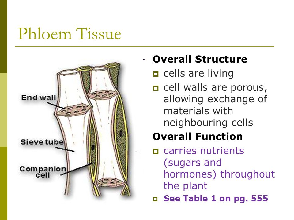 Phloem Tissue Overall Structure cells are living