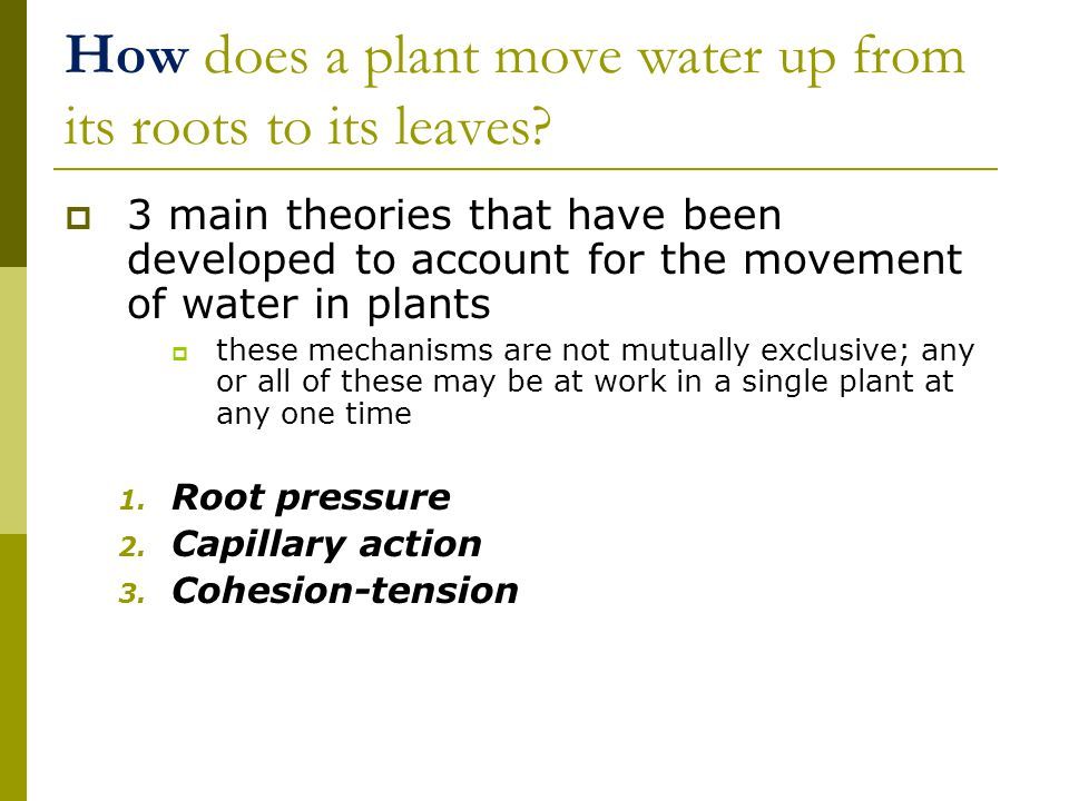 How does a plant move water up from its roots to its leaves