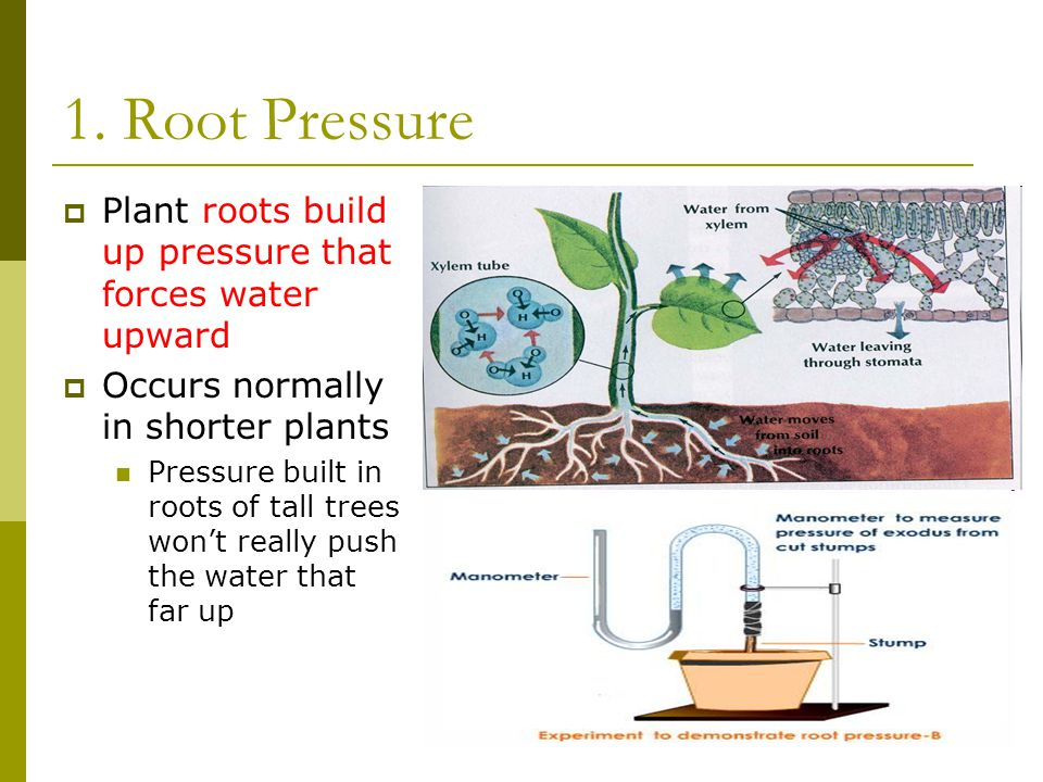 1. Root Pressure Plant roots build up pressure that forces water upward. Occurs normally in shorter plants.