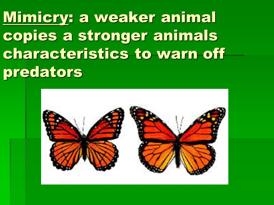 Mimicry: a weaker animal copies a stronger animals characteristics to warn off predators