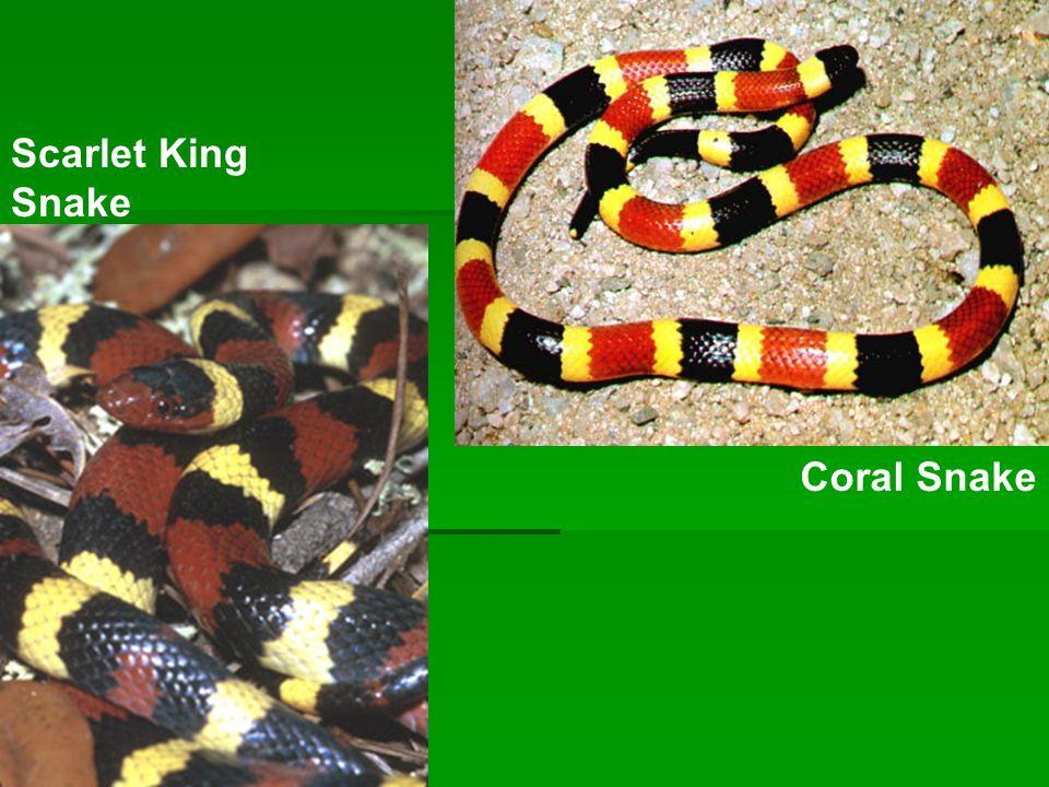 Scarlet King Snake Coral Snake