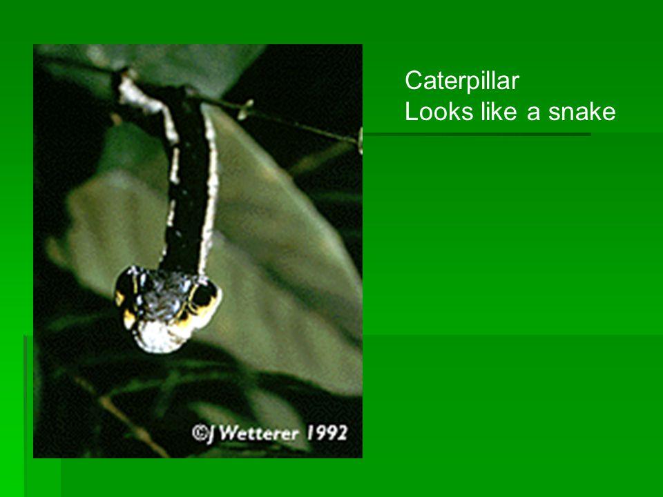 Caterpillar Looks like a snake