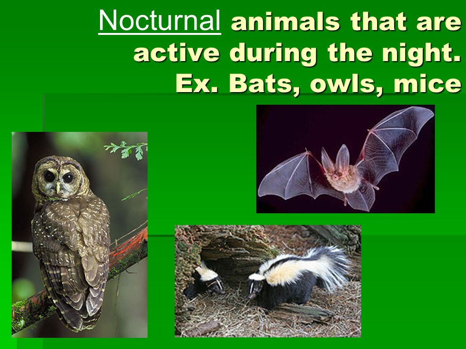 animals that are active during the night. Ex. Bats, owls, mice