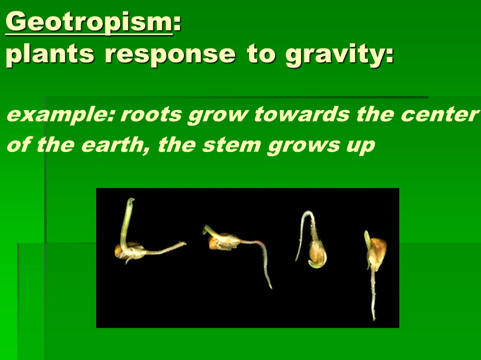 Geotropism: plants response to gravity: example: roots grow towards the center of the earth, the stem grows up
