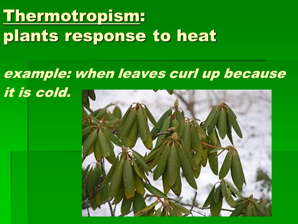 Thermotropism: plants response to heat example: when leaves curl up because it is cold.