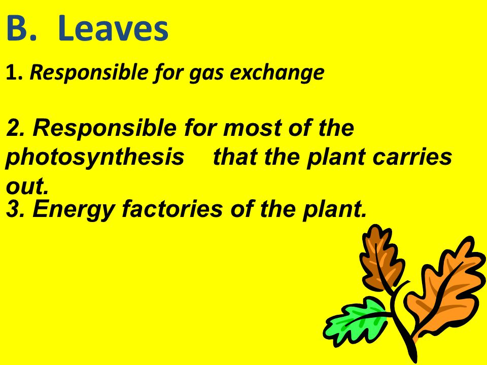B. Leaves 1. Responsible for gas exchange