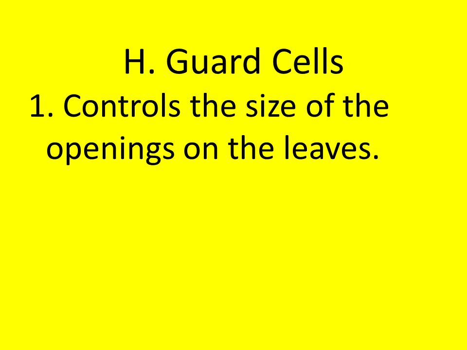 H. Guard Cells 1. Controls the size of the openings on the leaves.