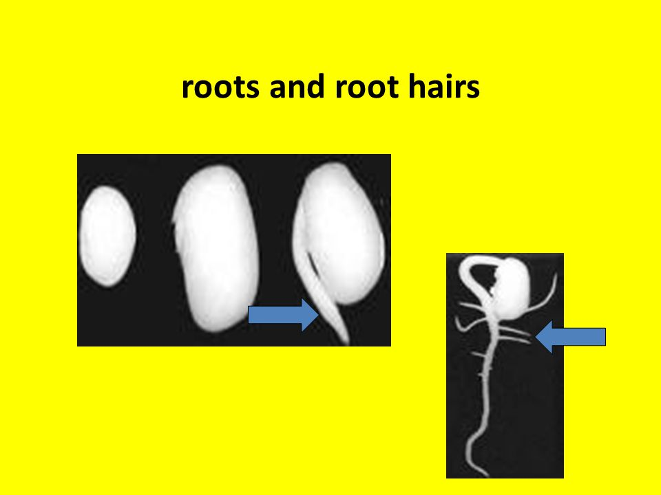 roots and root hairs