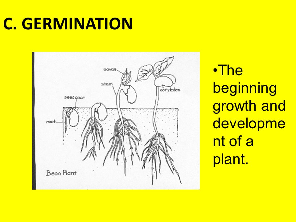C. GERMINATION The beginning growth and development of a plant.