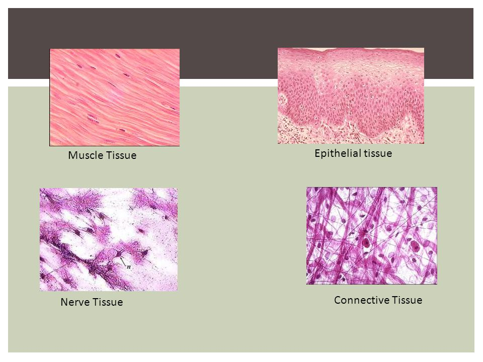 Muscle Tissue Epithelial tissue Nerve Tissue Connective Tissue