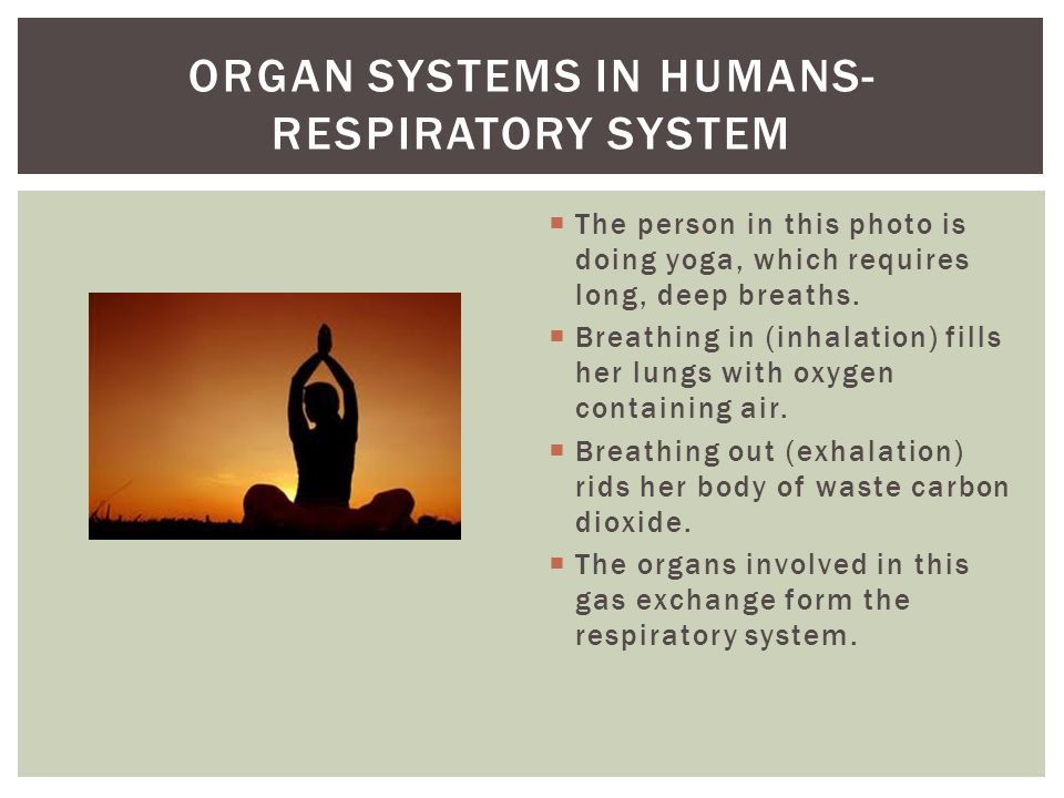 Organ systems in humans- respiratory system