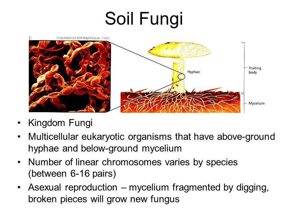 Soil Fungi Kingdom Fungi