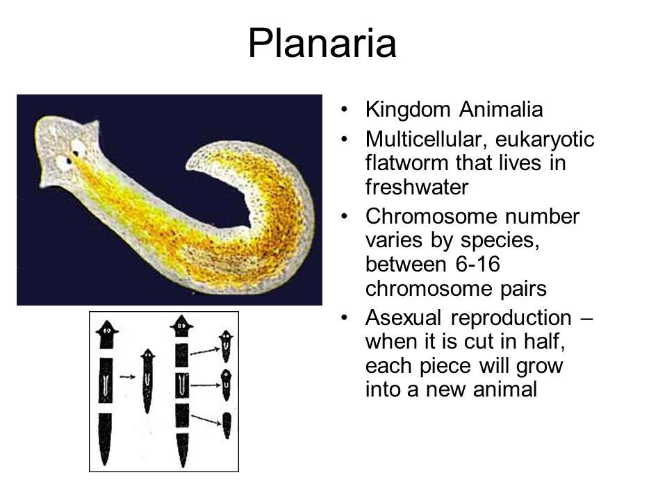 Planaria Kingdom Animalia