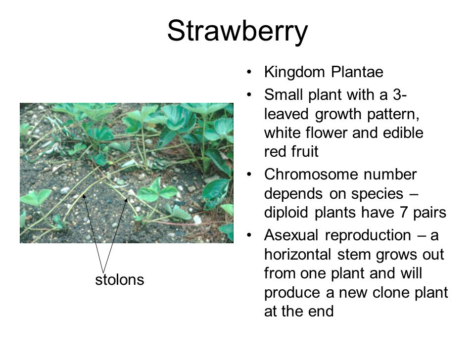 Strawberry Kingdom Plantae