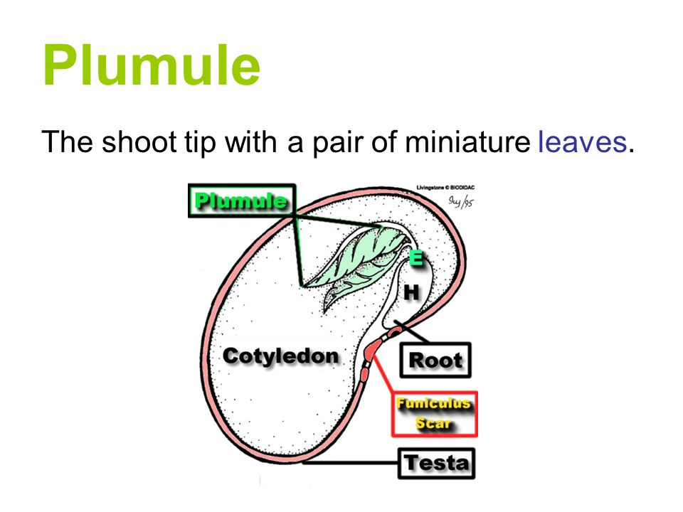 Plumule The shoot tip with a pair of miniature leaves.