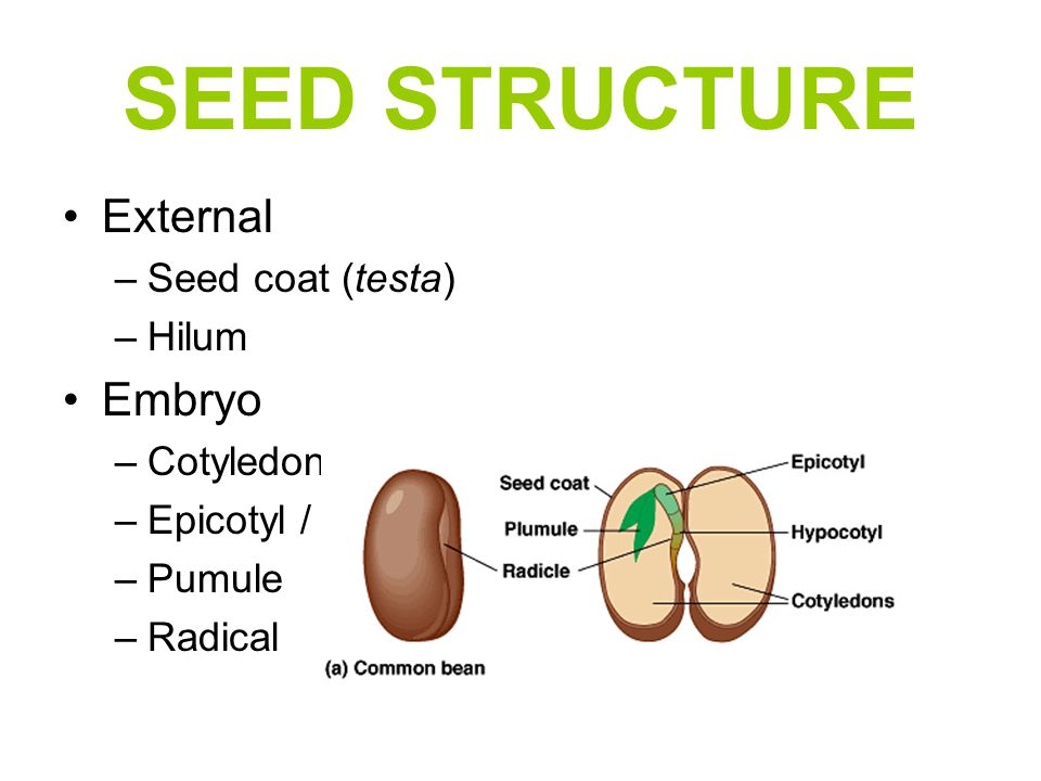 SEED STRUCTURE External Embryo Seed coat (testa) Hilum Cotyledon