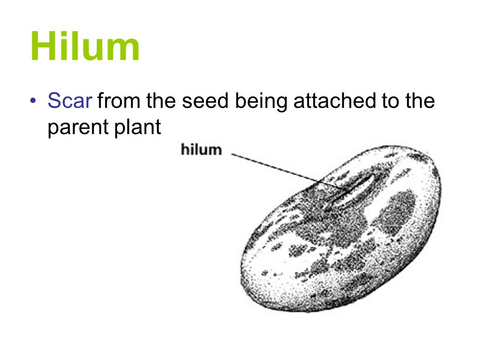 Hilum Scar from the seed being attached to the parent plant