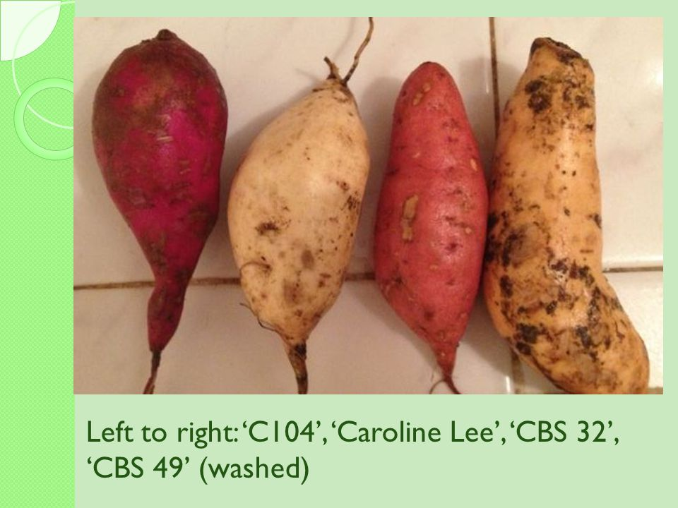 Left to right: 'C104', 'Caroline Lee', 'CBS 32', 'CBS 49' (washed)