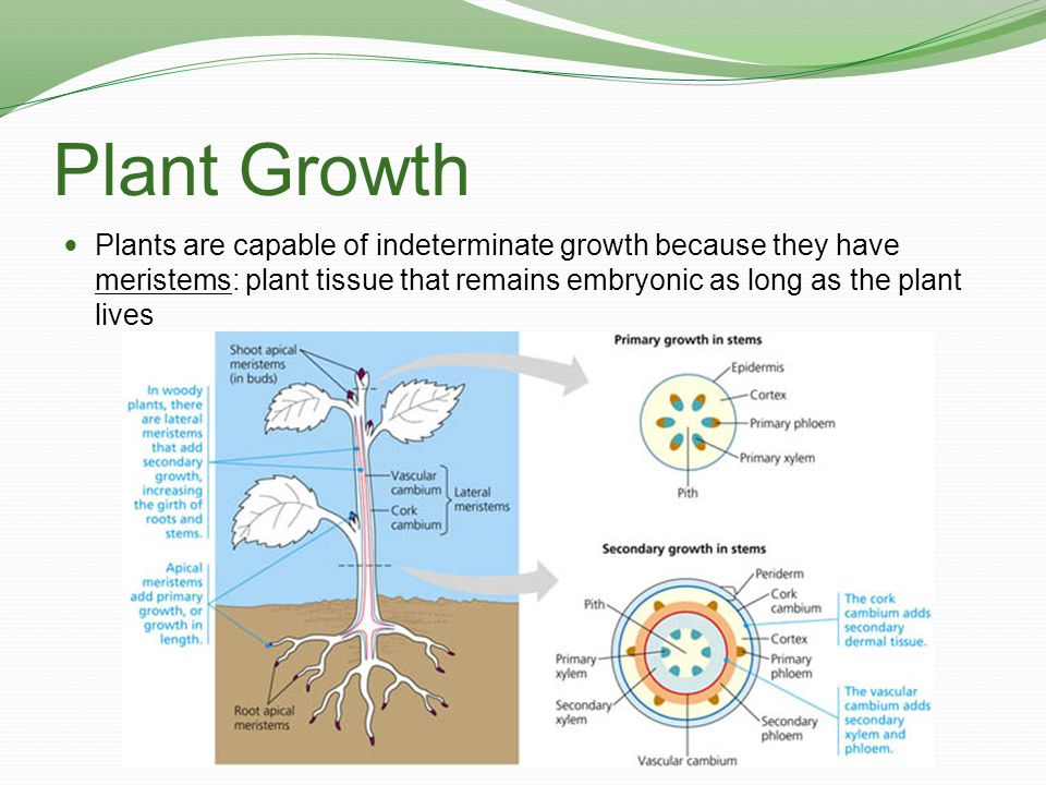 Plant Growth Plants are capable of indeterminate growth because they have meristems: plant tissue that remains embryonic as long as the plant lives.