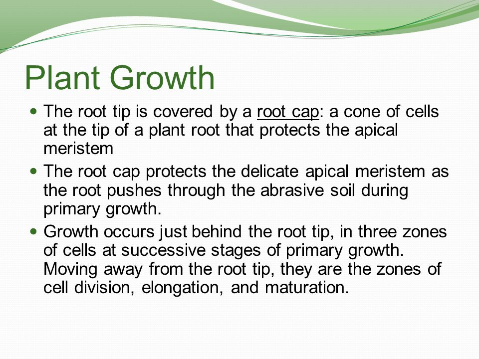Plant Growth The root tip is covered by a root cap: a cone of cells at the tip of a plant root that protects the apical meristem.