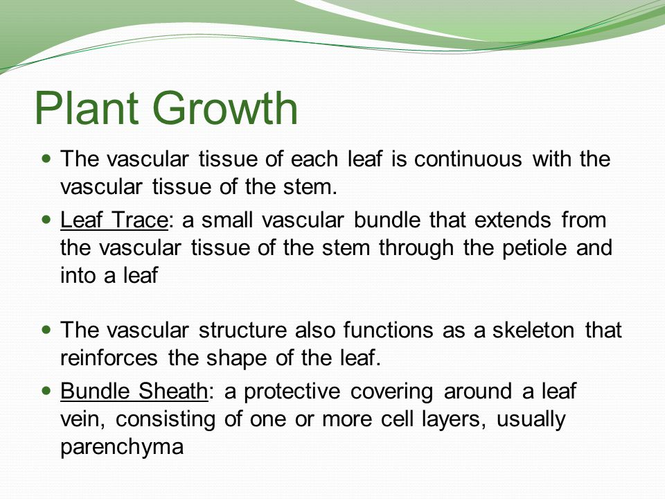 Plant Growth The vascular tissue of each leaf is continuous with the vascular tissue of the stem.