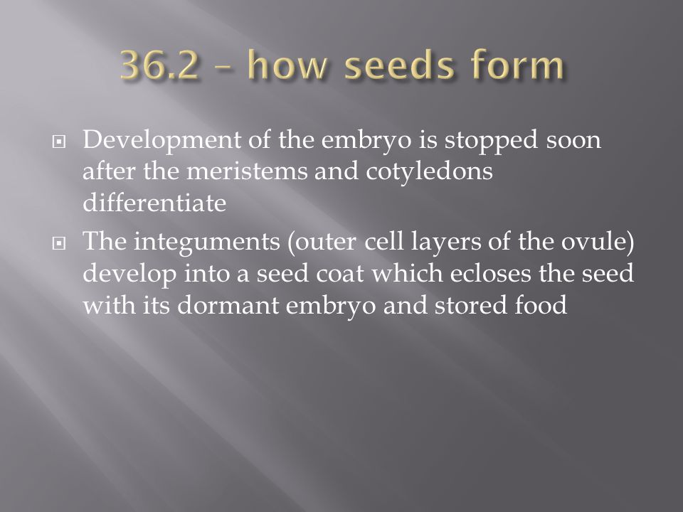 36.2 – how seeds form Development of the embryo is stopped soon after the meristems and cotyledons differentiate.