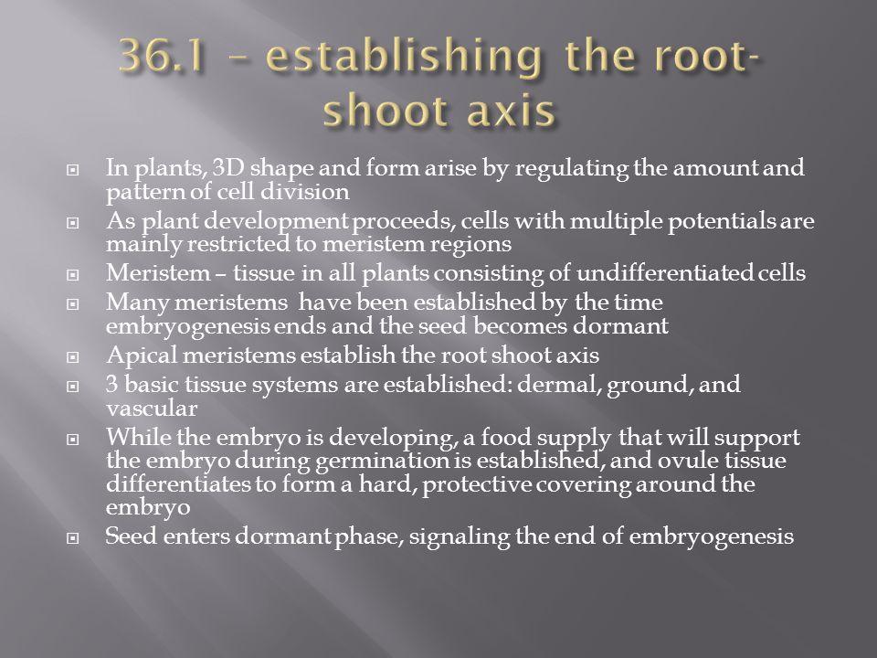 36.1 – establishing the root-shoot axis