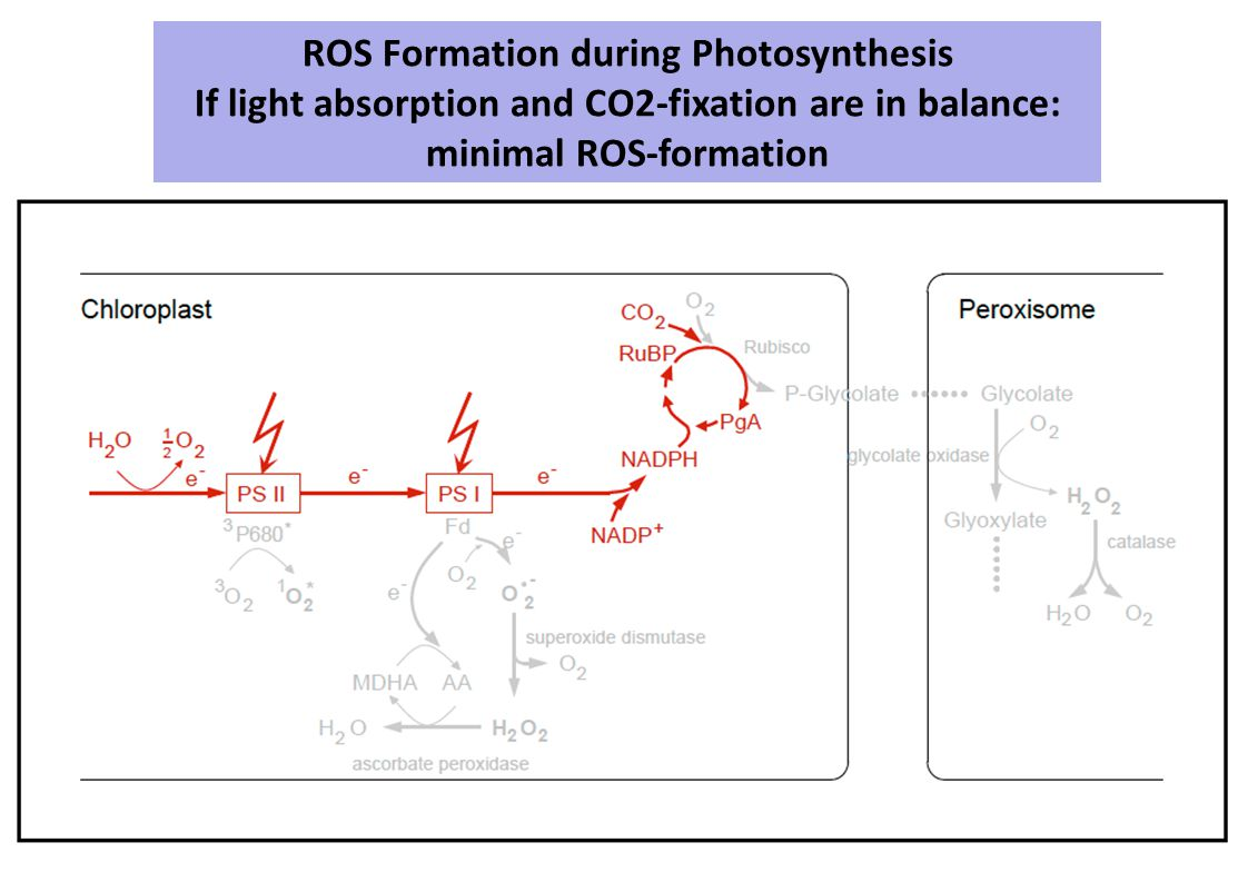 ROS Formation during Photosynthesis