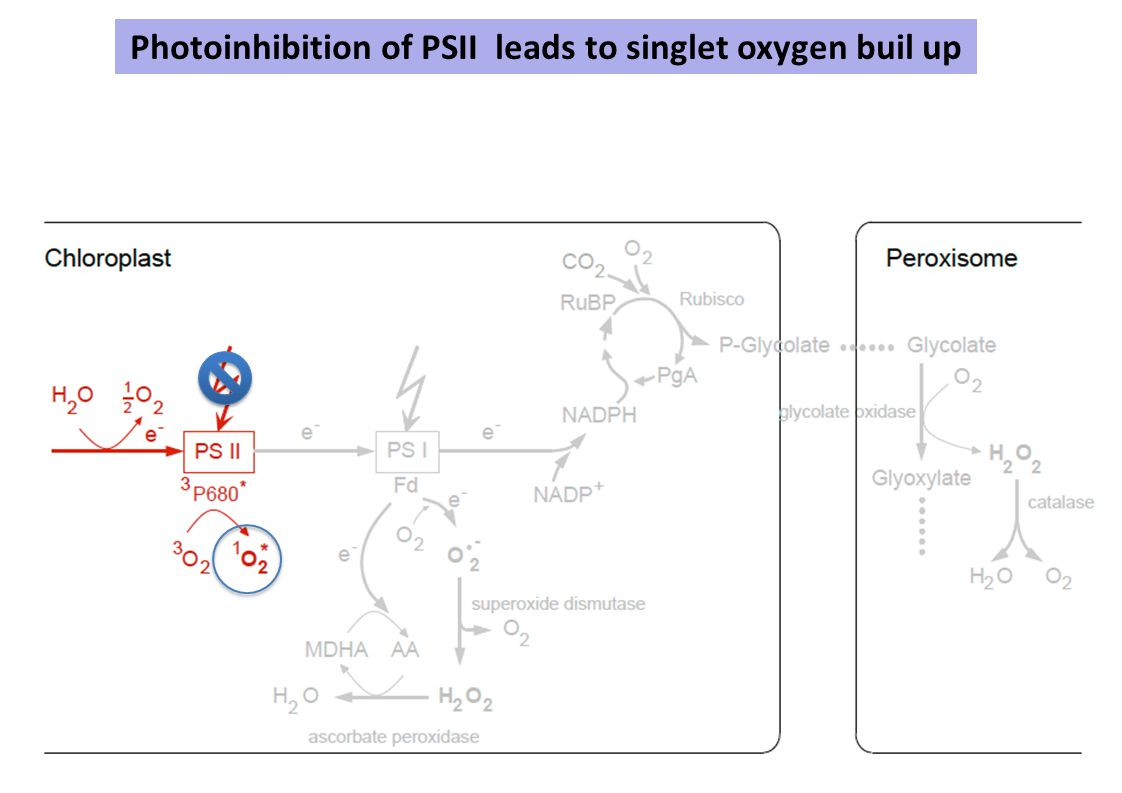 Photoinhibition of PSII leads to singlet oxygen buil up