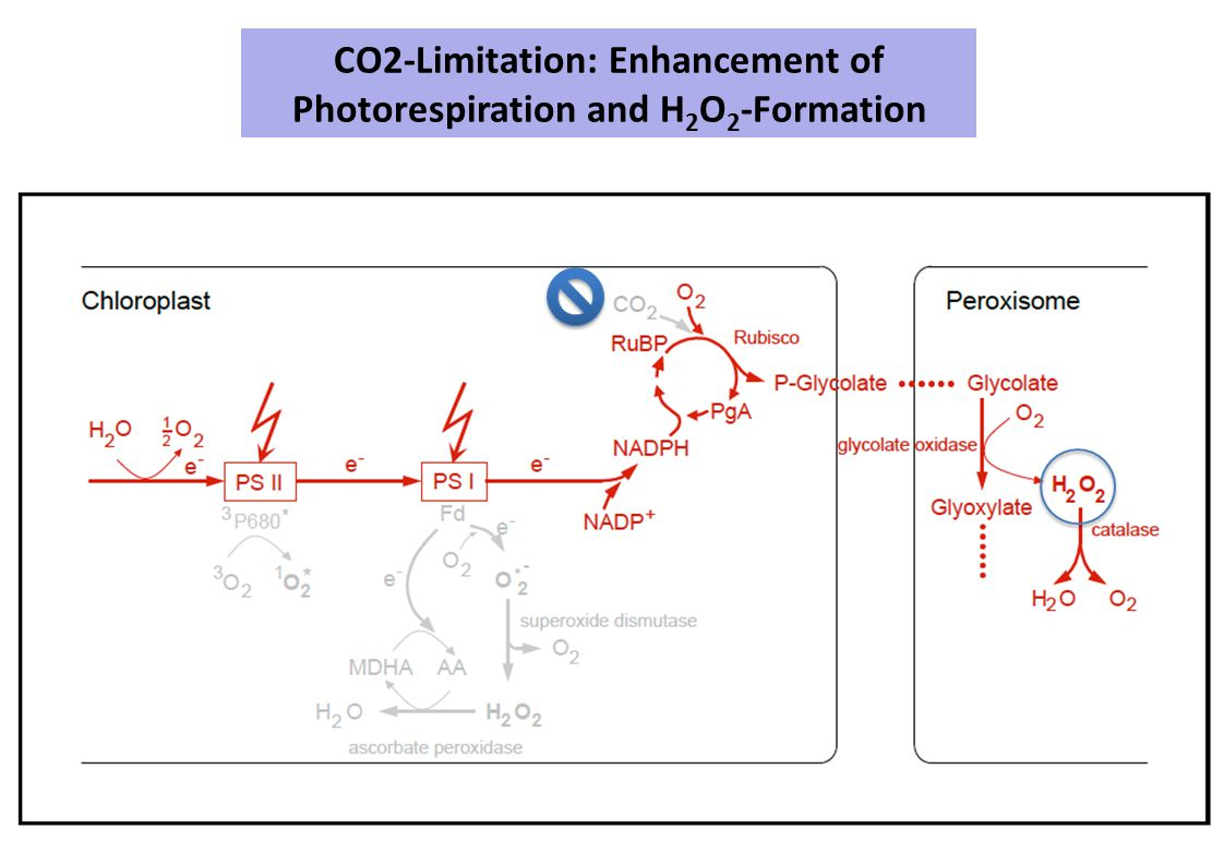 CO2-Limitation: Enhancement of Photorespiration and H2O2-Formation