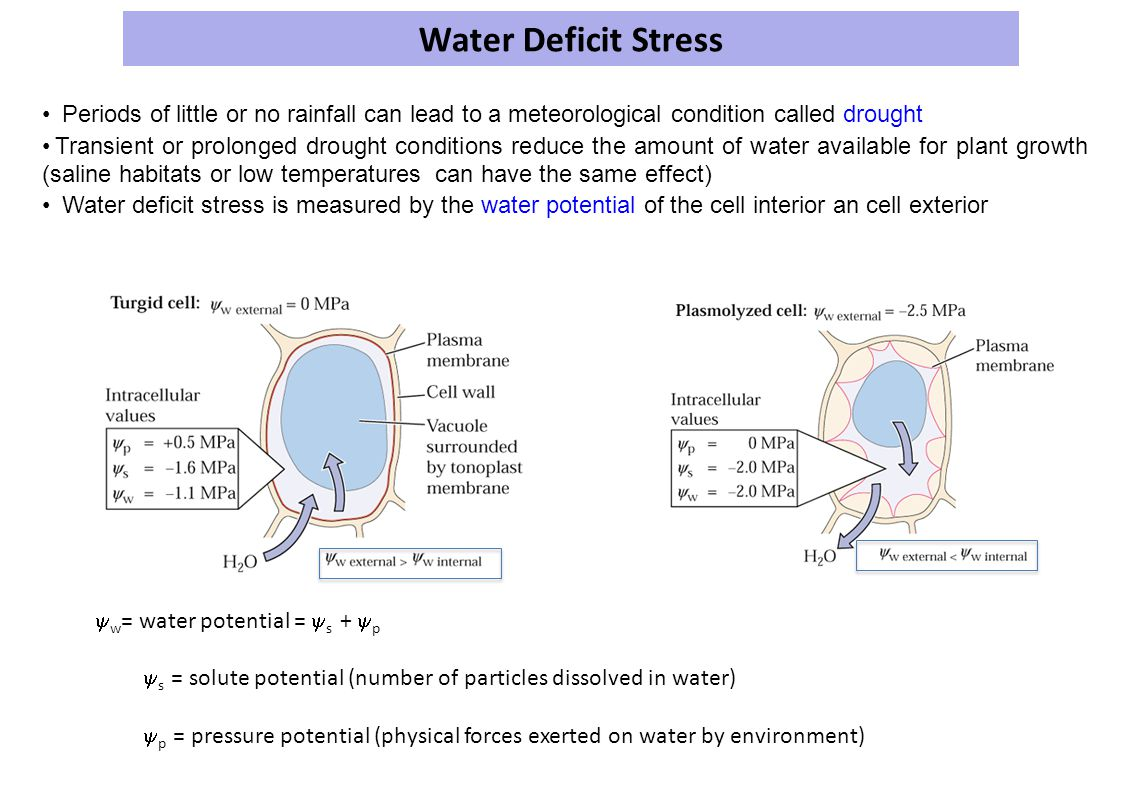 Water Deficit Stress • Periods of little or no rainfall can lead to a meteorological condition called drought.