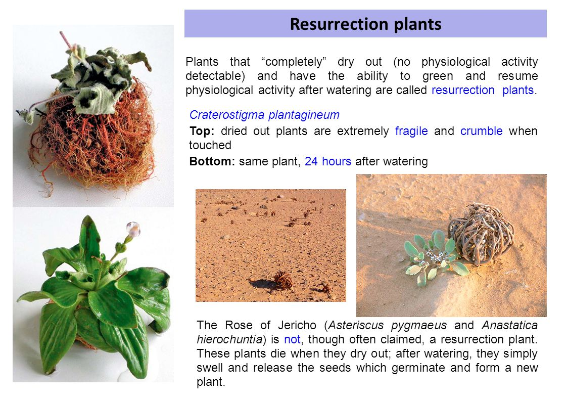 Resurrection plants Craterostigma plantagineum. Top: dried out plants are extremely fragile and crumble when touched.