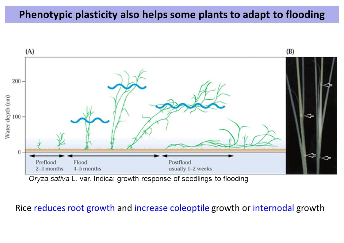 Phenotypic plasticity also helps some plants to adapt to flooding
