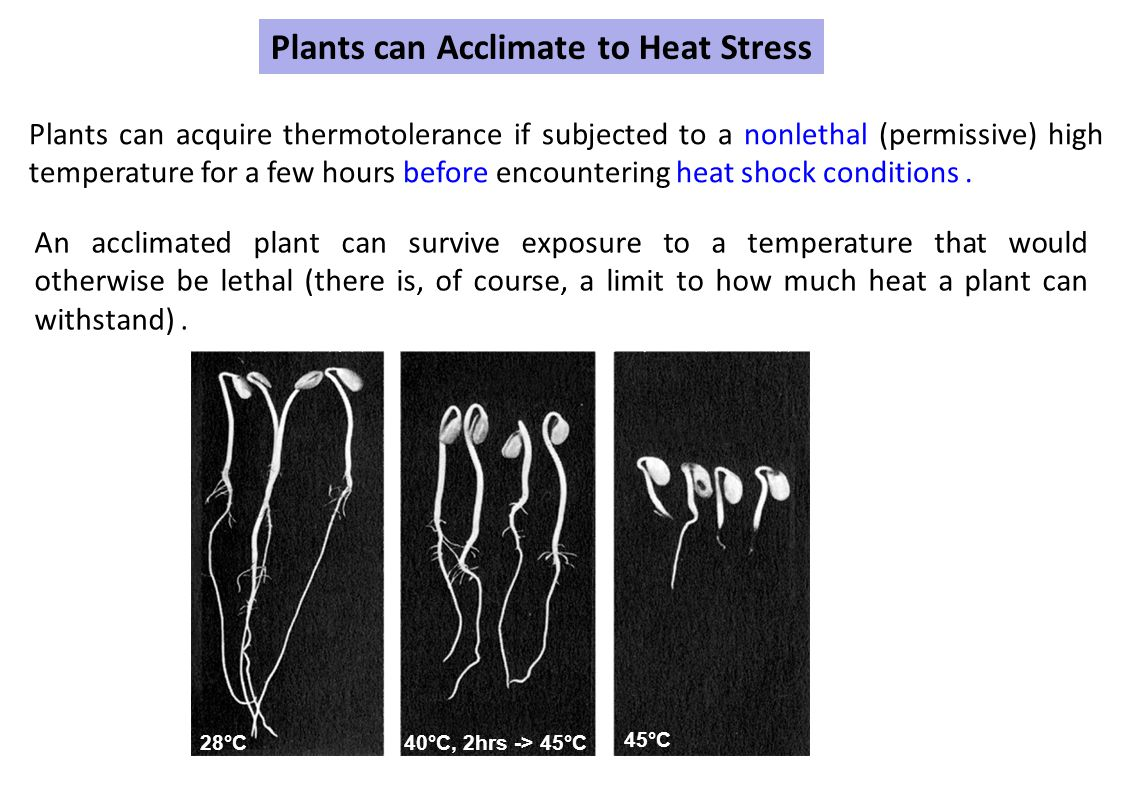 Plants can Acclimate to Heat Stress