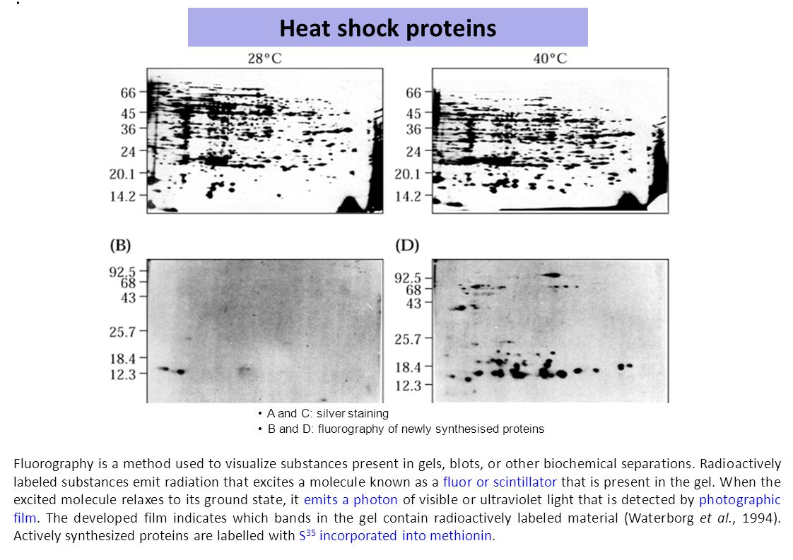 Heat shock proteins • A and C: silver staining. • B and D: fluorography of newly synthesised proteins.